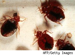 bedbugs