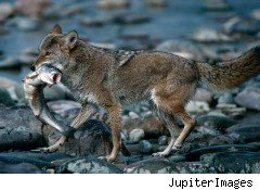 coyotes, invasive species