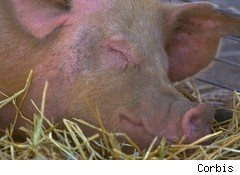 Hog farming, a least profitable industry