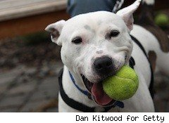 cute pit bull with ball - doggy day care - free - friday freebies