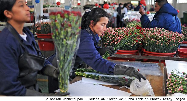 Colombian workers pack flowers at Flores de Funza farm in Funza. Getty Images