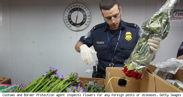 Customs and Border Protection agent inspects flowers for any foreign pests or diseases. Getty Images