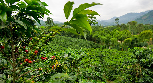 Starbucks buys Coffee plantation