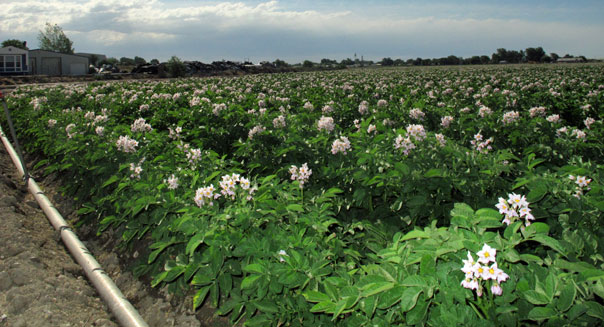 potato price fixing grocers growers farmers antitrust lawsuit field agriculture