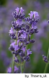 spray of lavender
