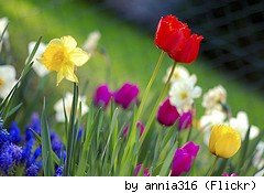 Spring garden flowers (tulips, daffodils, etc) by Flickr user Annia316.