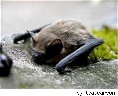 sleeping bat by tcatcarson on Flickr
