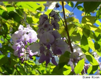 closeup of lavender Chinese wisteria (Wisteria sinesis) blooms hanging from a pergola