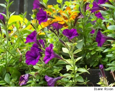 Photo by Diane Rixon of purple petunias in a window container garden