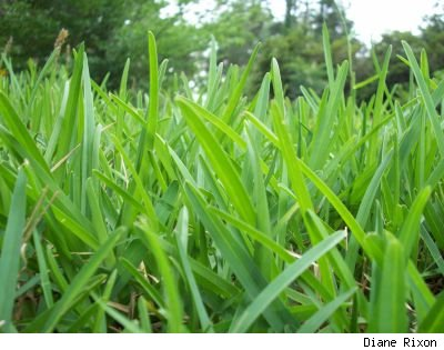 Closeup photo of St. Augustine grass blades in early summer, by Diane Rixon
