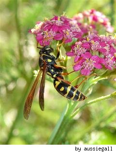 wasp by aussiegall on Flickr