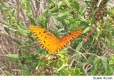 Closeup shot by Diane Rixon of an orange butterfly with its wings spread