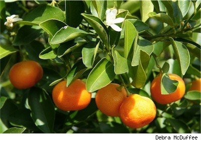 close up of orange tree