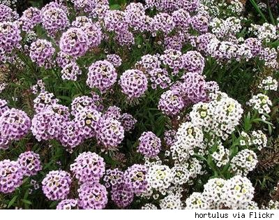 garden of light purple and white sweet alyssum in bloom