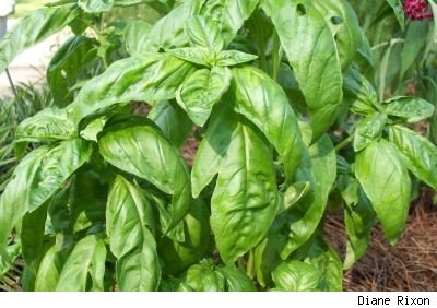 Closeup photo by Diane Rixon of basil plant with glossy, bright green leaves