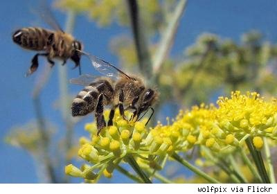 two honeybees on yellow flowers
