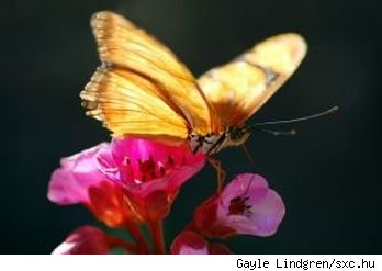 Golden brown butterfly rests atop pink flowers in bright sunlight, source: sxc.hu