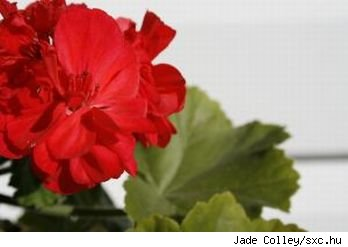 Closeup of a red geranium flower and leaves, source: sxc.hu.