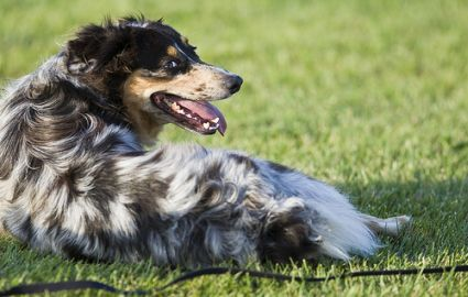 Blue merle Australian Sheepdog lying on grass, source: Flickr.