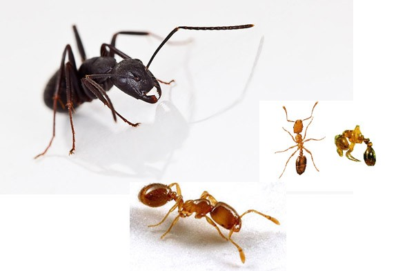ants, carpenter ant, pharoah ant, thief ant