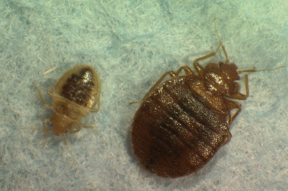bedbugs, get rid of bedbugs