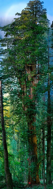 A giant redwood, captured by Mike Nichols of the National Geographic society, via Engadget