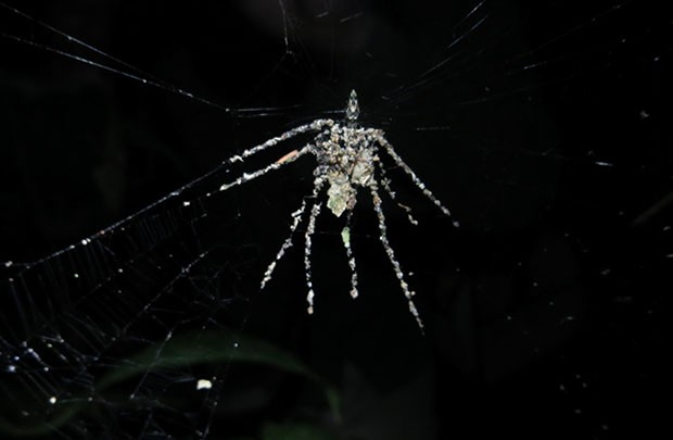New spider species knows a thing or two about 3D printing, sculpts giant replica of self