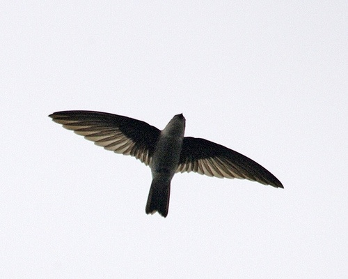 Swiftlet in flight