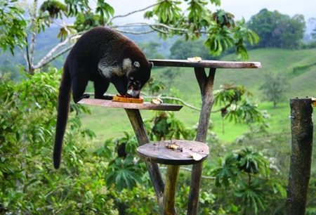 A coati finds a snack