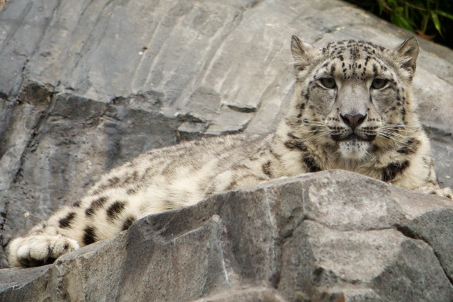 A snow leopard at the Central Park Zoo