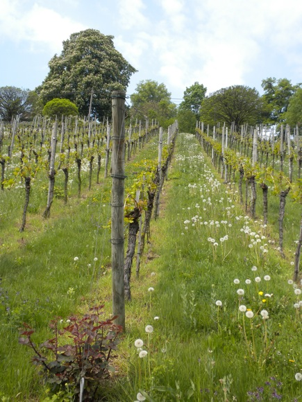 Stuttgart: a City Vineyard