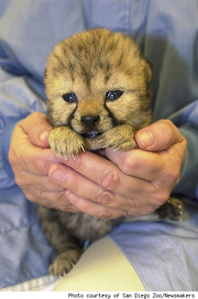 Baby Cheetah