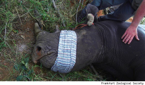 Rhino being prepared for transport