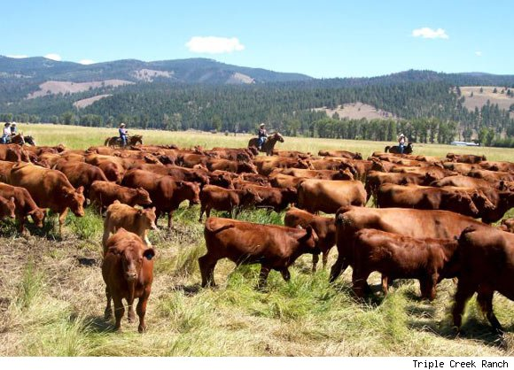 Cattle driving
