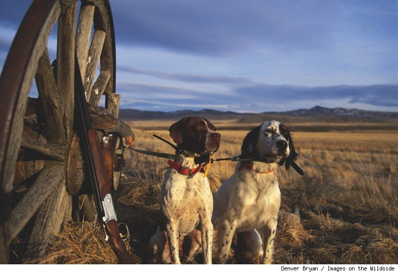 English Pointer and Setter, Montana