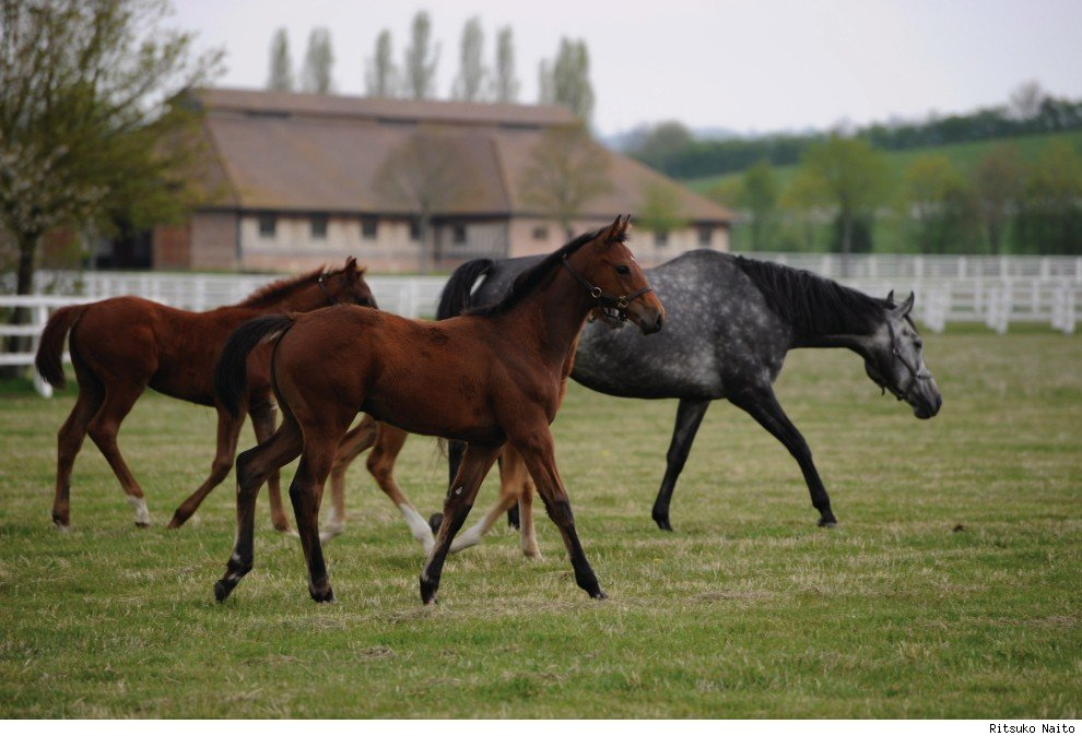 A group of mares and foals bred at St Crespin, France