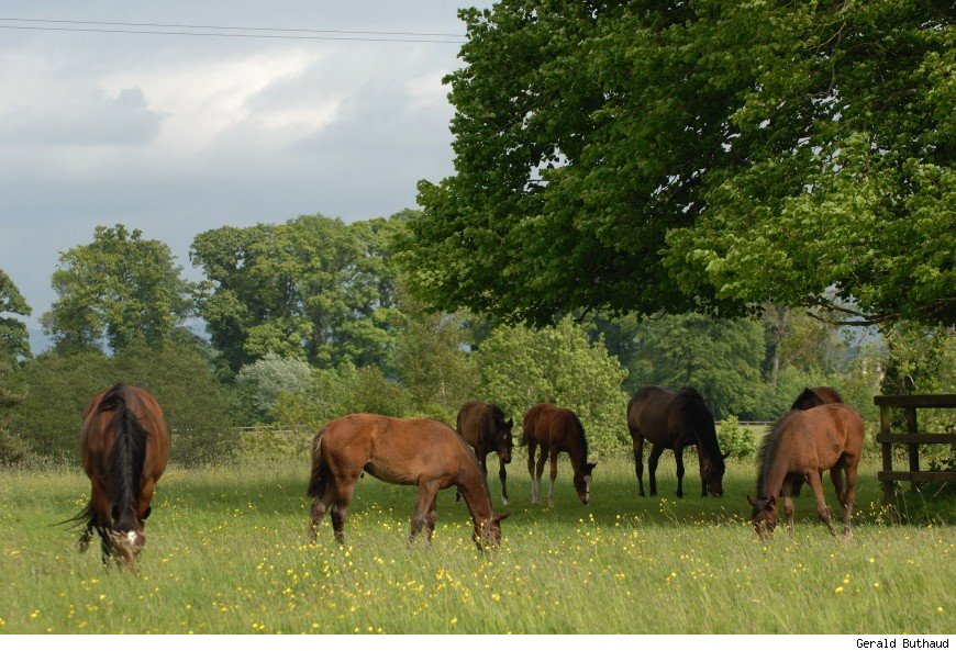 A group of mares and foals grazing in a field in Ireland