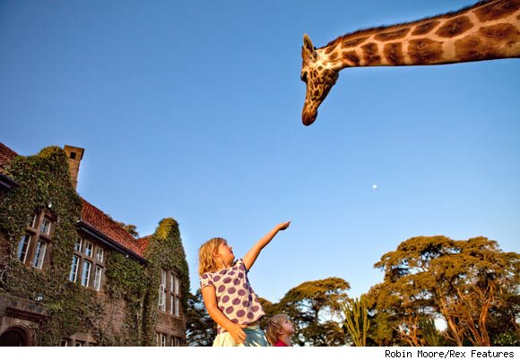 Giraffe Reaching