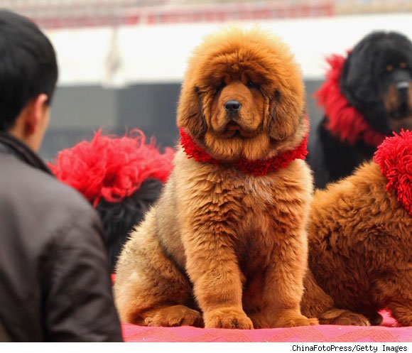 In any case, the 180-pound 11-month-old red Tibetan Mastiff known as Big Splash, or