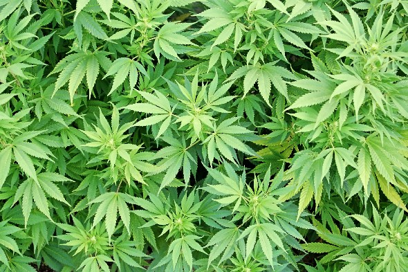 Smoking cannabis may trigger immune-suppressing cells
