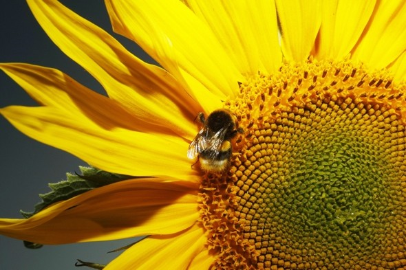 sunflower-bee-pollen-hayfever