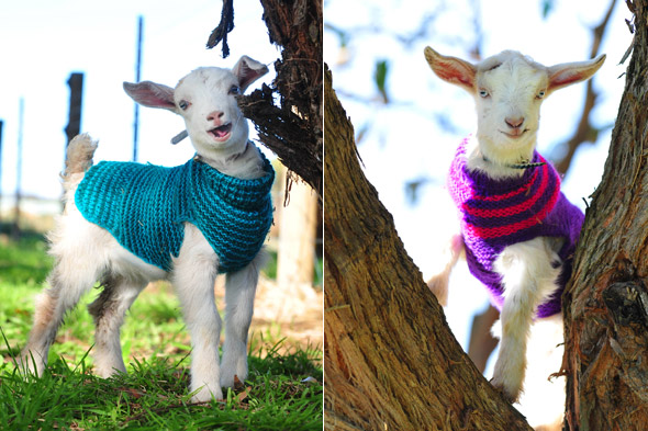 Miniature goats! Miniature goats in jumpers!