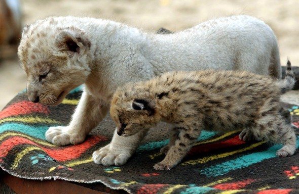 Mowgli the serval kitten (front) and Sabu the lion cub