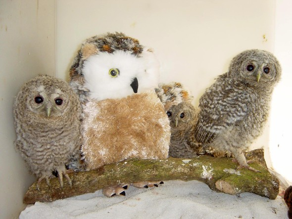 Orphaned owl chicks and their stuffed toy surrogate mother
