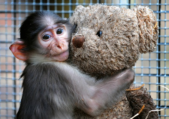 Conchita the baby Mangabey monkey