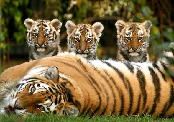 Sayan, Altai and Altay the tiger cubs with their mum Nika