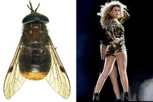 Bootylicious bugs: Scientists name fly with a golden butt after Beyonce