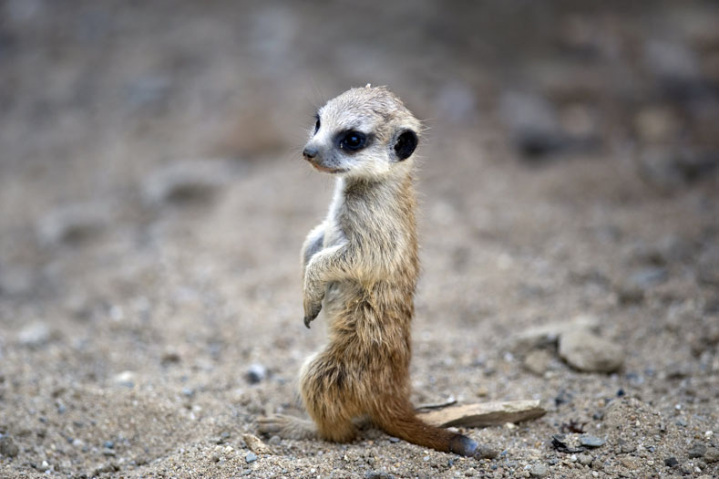 A young meerkat balances on his hind legs