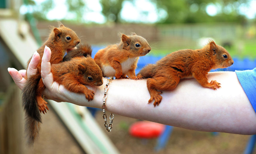 Five-week-old squirrel kittens clambering