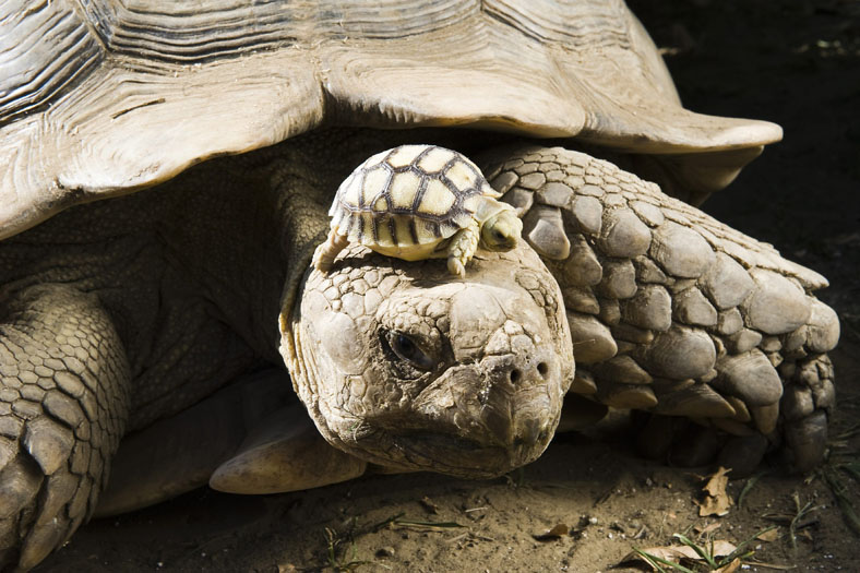 A four-day-old African spurred tortoise sunbathing on mum's head